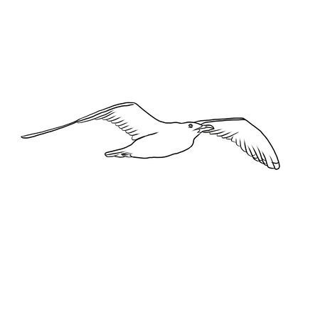 Flying seagull - Larus argentatus on a white background