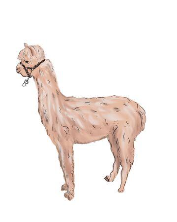 Alpaca or llama sketch mammal animal. South American mammal, Cinco de Mayo. Traditional Mexican holiday and zoo symbol, isolated alpaca llama. Фото со стока