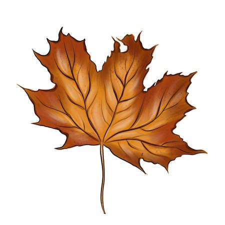 Realistic maple leaf isolated on white background.