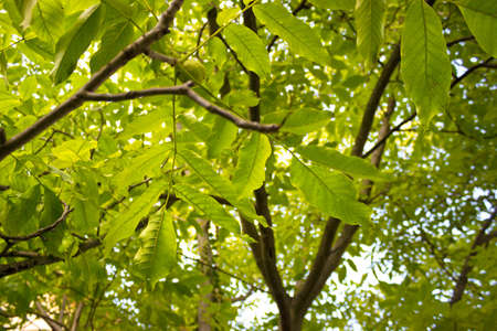 walnut tree: Walnut tree from frog perspective