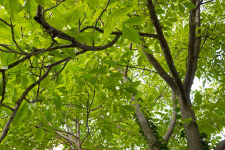 Walnut tree from frog perspective