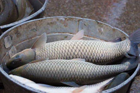 Fresh fish carp in preparation for selection, Photography Фото со стока