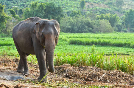 wild asia: asia elephant  Stock Photo