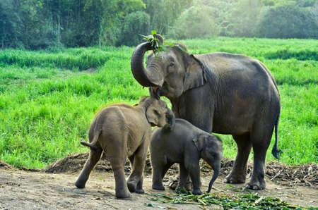 asia elephant with calf