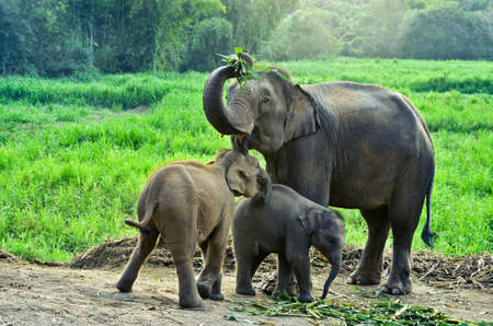 asia elephant with calf