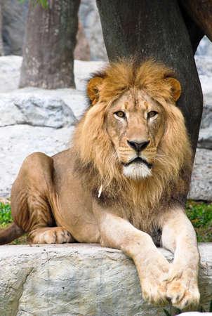 Lion in Chaingmai zoo Thailand photo