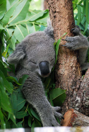 arboreal: sleeping coala  Stock Photo