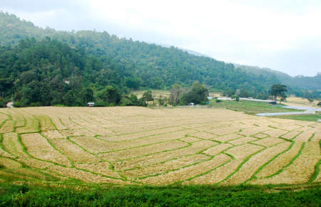Rice Field in Northern Thailand  Stock Photo - 10301685