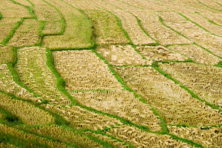 Rice Field in Northern Thailand Stock Photo - 10301704