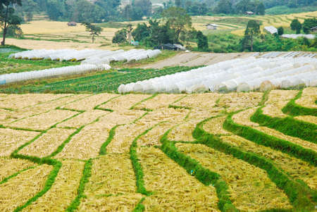 Rice Field in Northern Thailand  photo