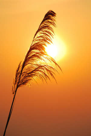 Silhouettes of grass in morning  photo