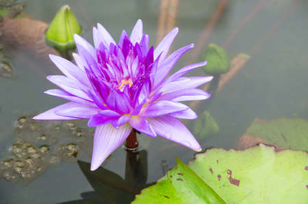 Purple Lotus on the River