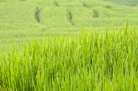terrace rice fields ,Thailand