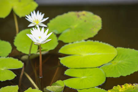 water lilly: Closeup white lotus flower