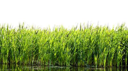 River cane Stock Photo - 5175746