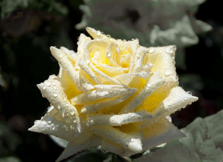 Beautiful bright yellow rose with dew drops. photo