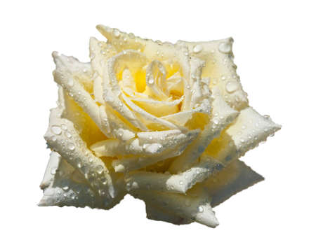 Beautiful bright yellow rose with dew drops on white. photo