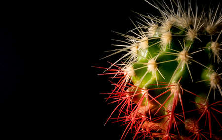Cactus in a pot on a black background closeup