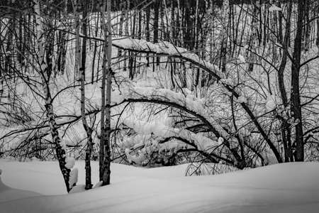 The snow on the branches in winter forest