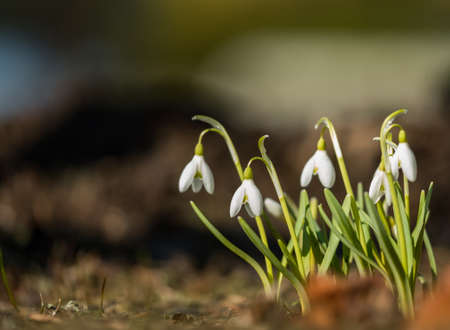 Wild white snowdrops close-up in spring macro Stock Photo
