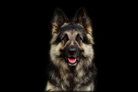 Deutscher Schäferhund auf schwarzem Hintergrund isoliert