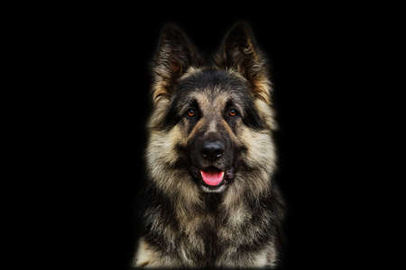 German Shepherd dog isolated on black background