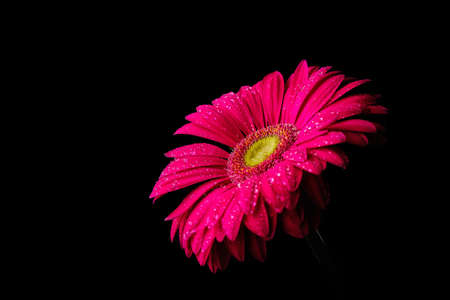 Gerbera flower isolated on black background in drops of water 2019 Stock Photo