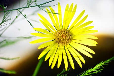 senecio: Senecio jacobaea - yellow flower garden