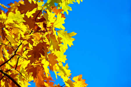 leafage: Wedge yellow leaves against the blue sky  Stock Photo