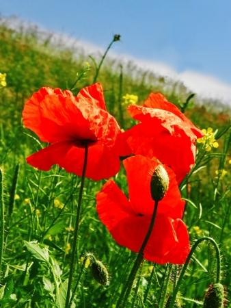 amaranthine: poppy seed flowers