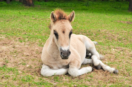 Tarpan  Equus gmelini  young colt Stock Photo - 14237530