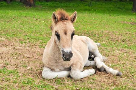 Tarpan  Equus gmelini  young colt Stock Photo - 14237530