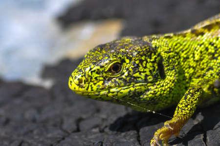 biont: Sand Lizard  Lacerta agilis