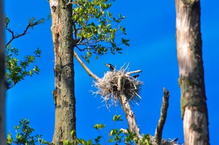 four species: cormorant chicks