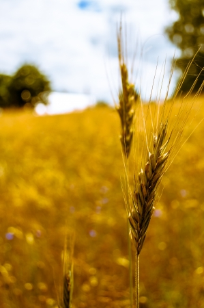 incursion: grain in the field before harvest Stock Photo