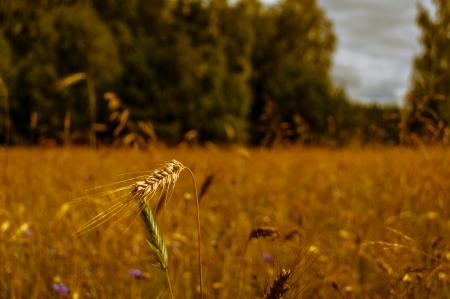 incursion: grain sur le terrain avant la r�colte Banque d'images