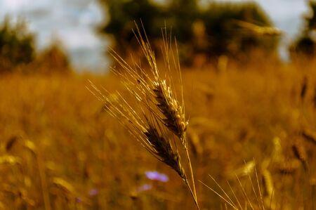 incursion: grain dans le champ avant la r�colte Banque d'images