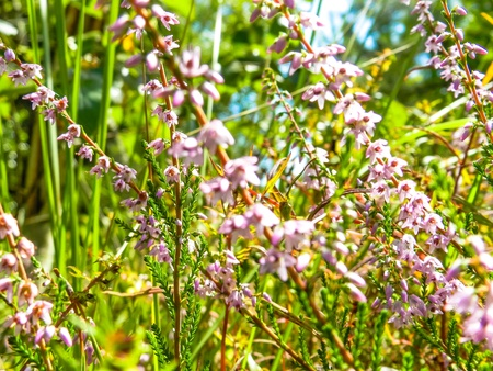 thicket: Common Heather, ling, heather