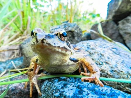 rana: common frog,  Rana temporaria  Stock Photo