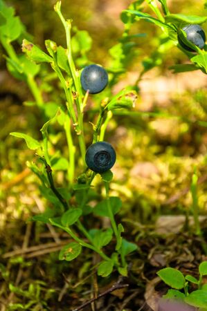 bilberry: bilberry, whortleberry, blueberry Stock Photo