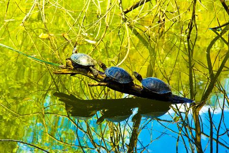Three cute turtles lined up on the tree above the water Stock Photo