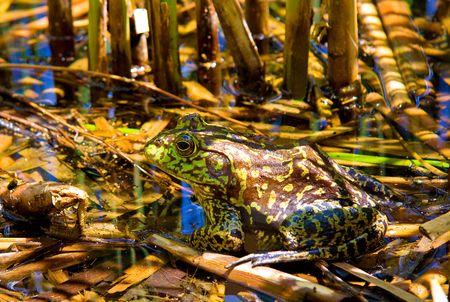 Imagen de una rana en su hábitat Foto de archivo - 2900741