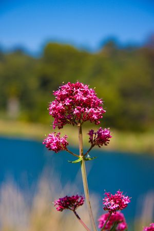 purple flower on the sky and lake background