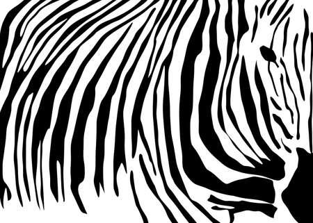 animal skin: Zedra skin pattern-vector