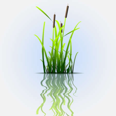 reeds: Grass green reed with reflection.Eco vector background
