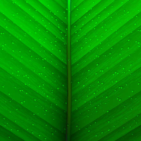 Green background of  Green background of  texture leaf and drops.Vector eps10.Vector eps10 Vector