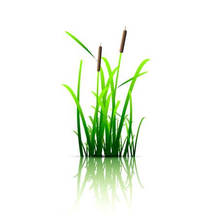 canne: Erba verde canna. Vettoriali