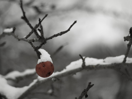 A brown rotten apple on a tree branch covered in snow on a cold winter day