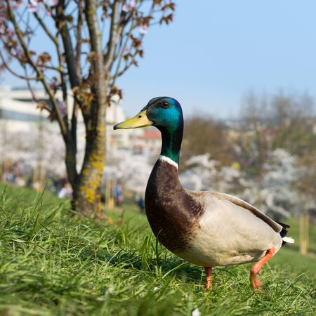 Duck walking on the green grass