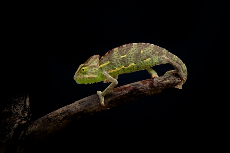 small reptiles: camaleonte yemen